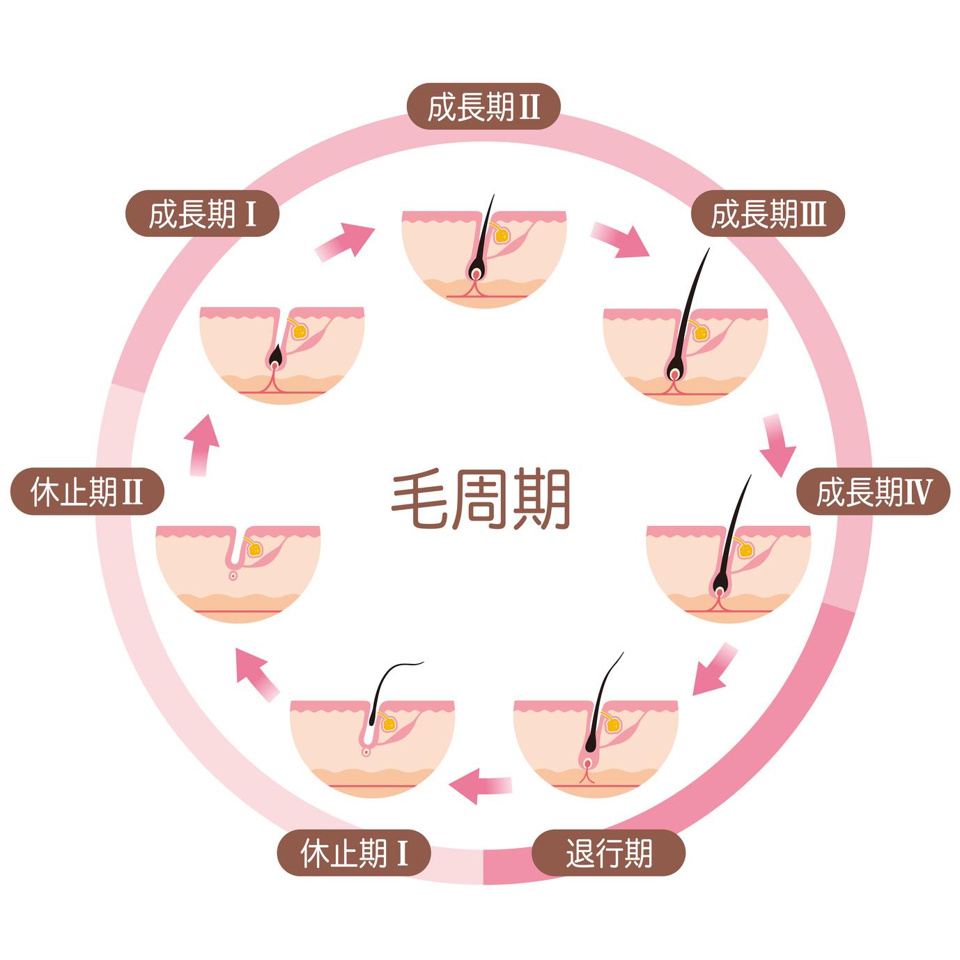 毛周期の説明